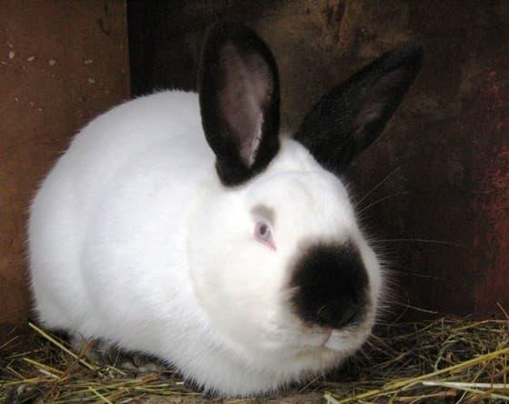 Кролик породы калиф
